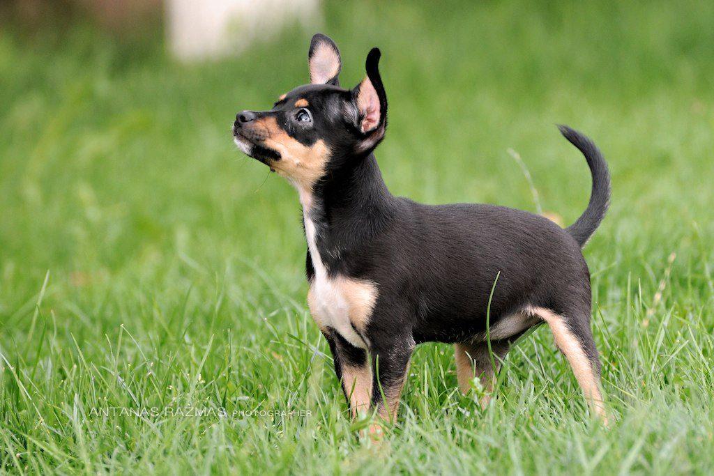 Аккуратность щенка на улице
