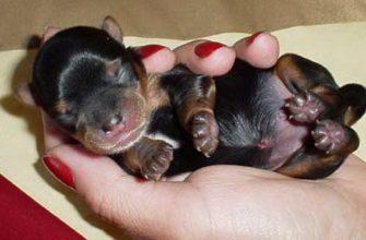 Новорожденный щенок той-терьера