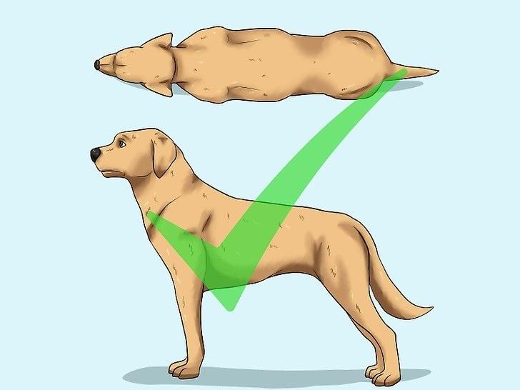 Нормальный вес собаки